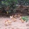 肉质鲜嫩的梅州福岭黄鸡