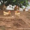 富有营养、滋补养身的福岭黄鸡